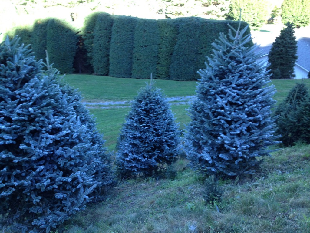 Frosted Fraser Firs